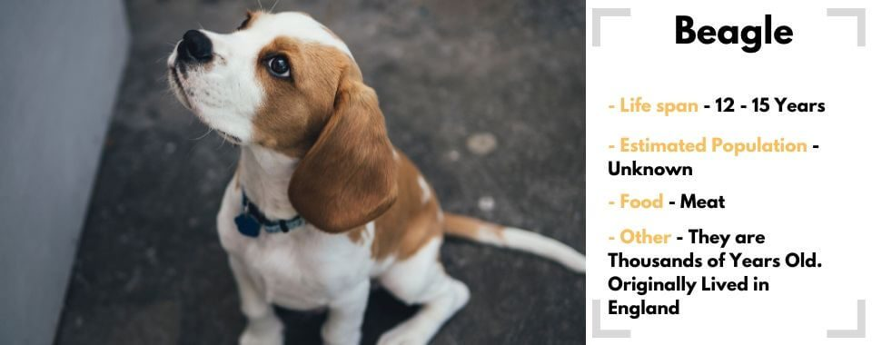 random dog generator Beagle image with their facts