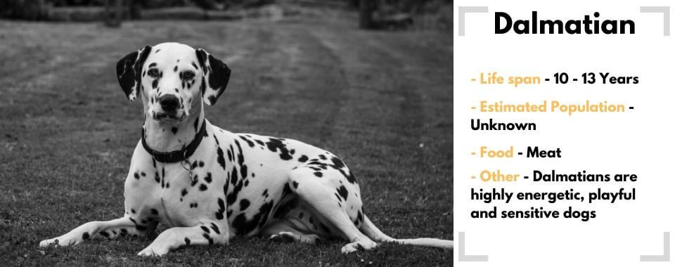 random dog generator Dalmation image with their facts