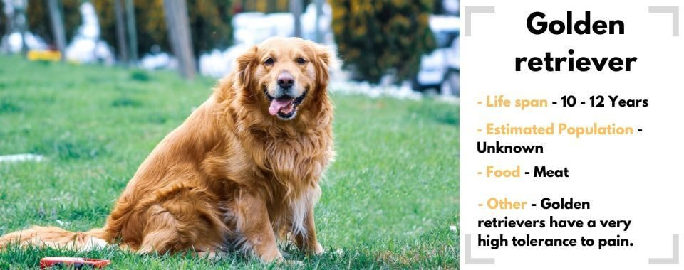 random dog generator Golden retriever image with their facts