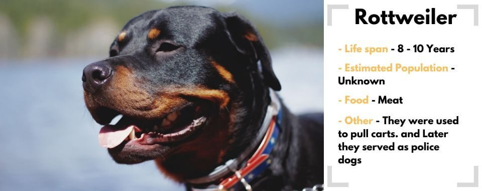 Rottweiler image with facts