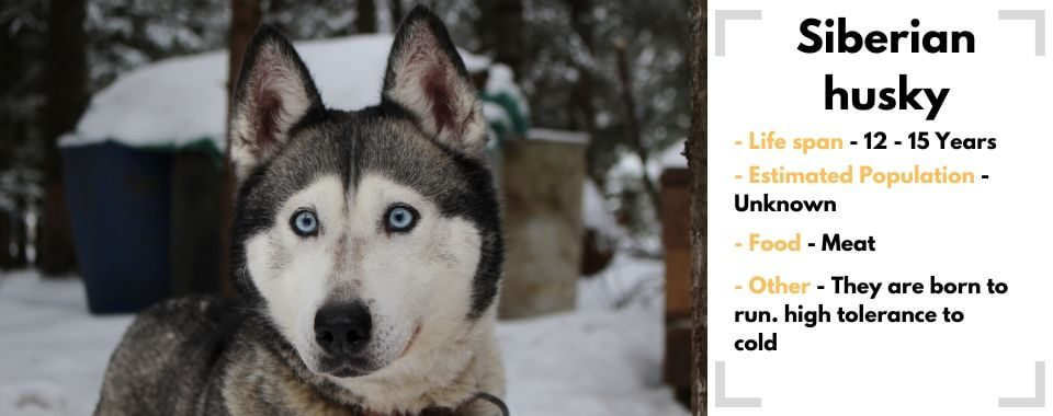 Siberian husky image with facts