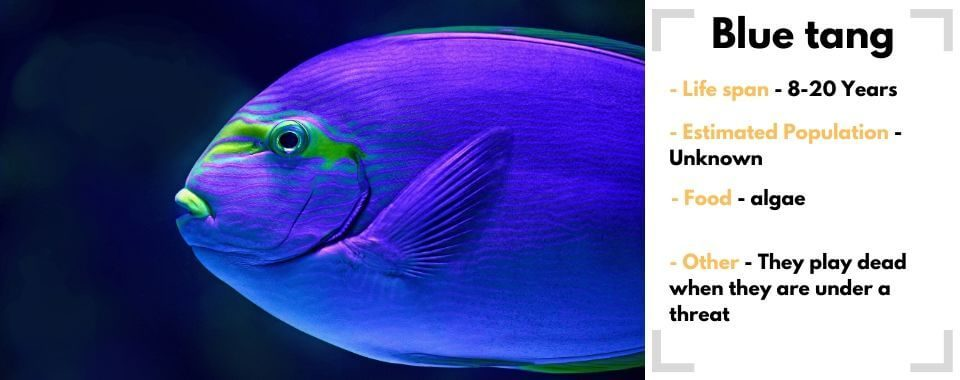 random fish generator blue tang image with their facts